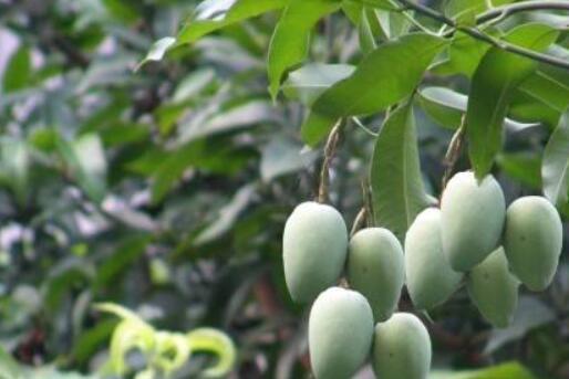 南方路边绿化的芒果能吃吗